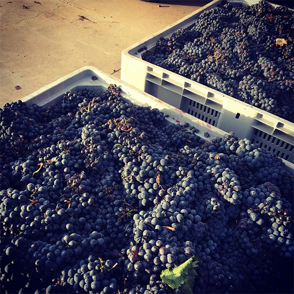 brunello harvest vintage 2015