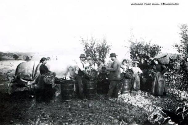 montalcino harvest crates sangiovese