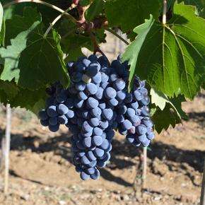 "Ain't no ""baby Brunello"": Rosso di Montalcino, the perfect expression of Sangiovese forsummer"