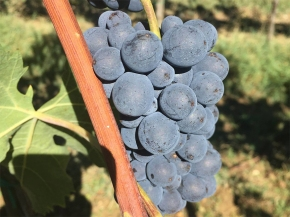 Harvest in Tuscany has begun! Stefano's first impressions…