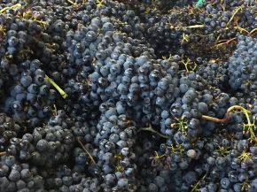 Weather in Montalcino is more promising than expected: Harvest 2016 update fromStefano