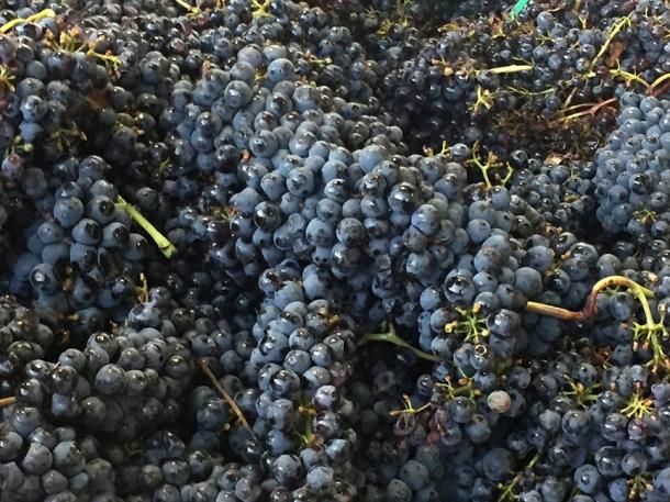 snagiovese-harvest-2016-montalcino