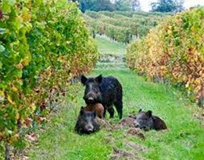 Wild boar are destroying the Tuscan wine trade: Updates from Stefano on#Harvest2016