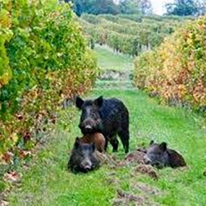 Wild boar are destroying the Tuscan wine trade: Updates from Stefano on #Harvest2016