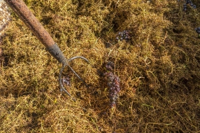 Harvesting the best grapes in Montalcino today: Harvest update fromStefano