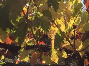 Complicated is the new normal when it comes to harvest inBrunello
