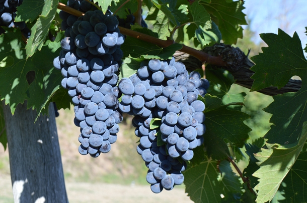 sangiovese-grosso-grapes