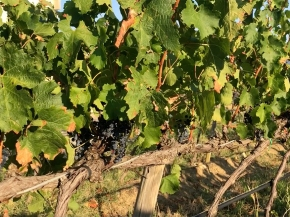 Early vintage 2018 notes: Stefano takes a look at Barbi's Maremma harvest