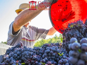Experience the grape harvest this weekend at Fattoria dei Barbi!