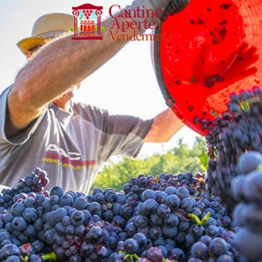 Experience the grape harvest this weekend at Fattoria deiBarbi!