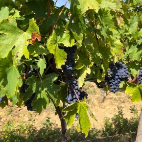 Harvest will begin soon in Montalcino (argh! the stresses of being a winemaker)